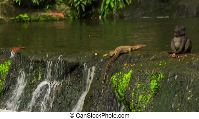 Varanus Scrambles out of Waterfall to Stony Bank in Park -...