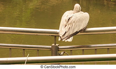 Closeup Pelican Sits Turns Head on Bridge Rail over Water -...