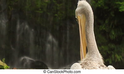 Closeup Pelican Head Cleans Feathers with Bill - closeup...