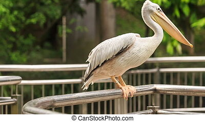 Pelican Runs on Metal Rail from Tourists - large white...