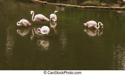 Pink Flamingos Stand in Lake in Bird Park - group of pink...