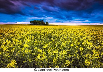 Beautiful blooming napus field in springtime. Sunset over...