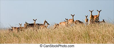 Group of gazelles. - Gazelles stand against the yellow dried...