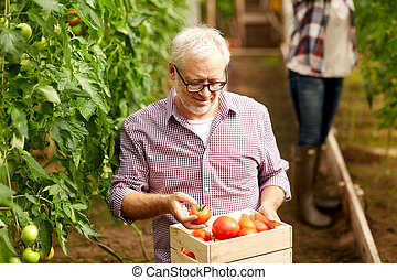 old man with box of tomatoes at farm greenhouse - farming,...