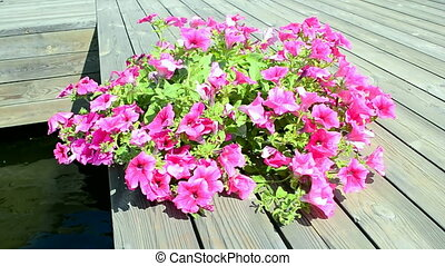 petunia pink flowers closeup on wooden surface under wind in...