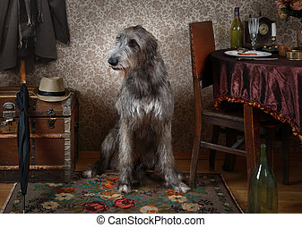 Two years old Irish wolfhound dog indoors - Two years old...