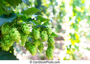 detail of hop cones before the harvest