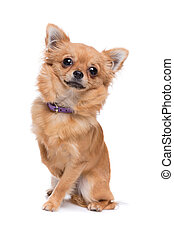 Brown long haired Chihuahua sitting in front of a white...