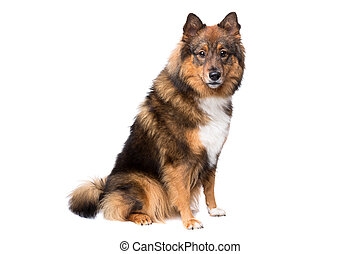 mixed breed dog,Eurasier, in front of a white background