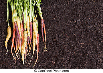Healthy bunch of multicolored carrots with green stalks...