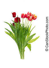Isolated bunch of colorful red and orange tulips with fresh...