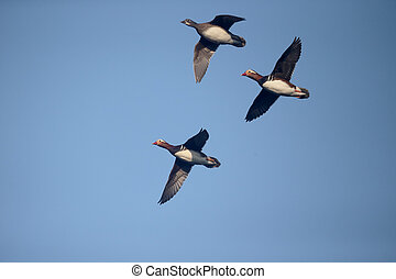 Mandarin duck, Aix galericulata, Group in flight, Greater...