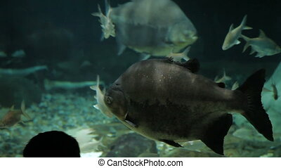 The tambaqui (Colossoma macropomum), a freshwater species of...