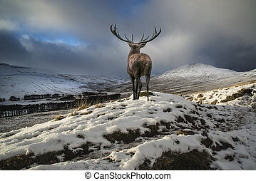 Beautiful red deer stag in snow covered mountain range festive seasonal Winter landscape