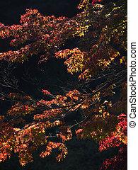 Sunlight Illuminates the Autumn Foliage of a Japanes Maple -...