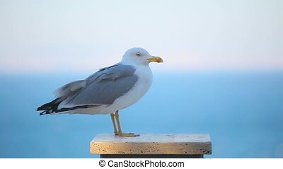 a beautiful seagull close up.