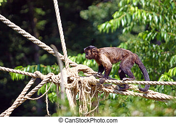 Capuchin monkey - Small brown capuchin monkey on the ropes