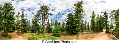Panoramic view of pine tree forest at Bryce Canyon -...