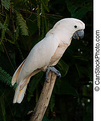 Cockatoo parrot with pink white feathers on a trunk -...