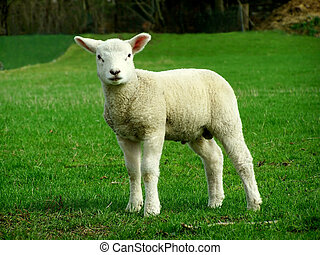 Lamb - Image of a white Lamb