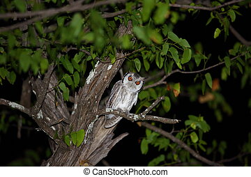 Southern white-faced owl (Ptilopsis granti) in Zambia