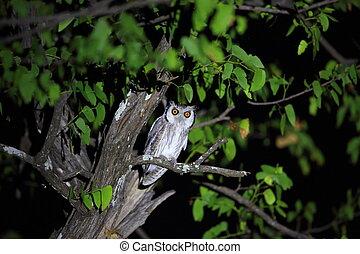 Southern white-faced owl (Ptilopsis granti) in Zambia