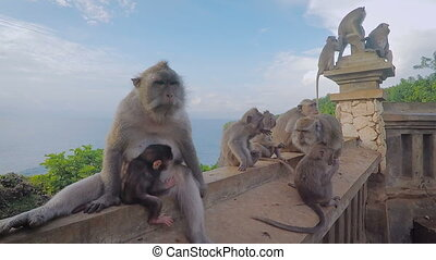 Family of wild monkeys resting together on the banisters with sea and trees behind. Big mother macaque in the foreground sitting with her cub embracing her. Several apes are placing in the background.
