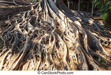 Closeup roots of an old tree.