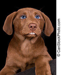 Lab puppy with human features - A chocolate lab puppy has...
