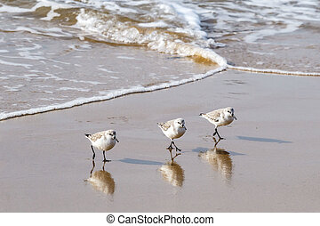 Sandpipers walking in unison on the Southern California...
