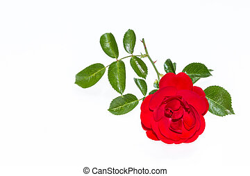 bright red rose isolated on white background