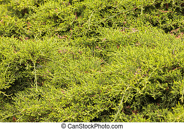 evergreen shrubs behind the fence, note shallow depth of...