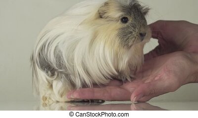 Favorite guinea pig breed Coronet cavy trusting in good...