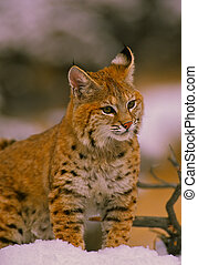 Bobcat in Winter - a bobcat standing in a winter scene