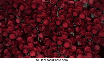 The background of the many red roses