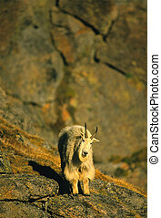 Male Mountain Goat - a male mountain goat in rough terrain