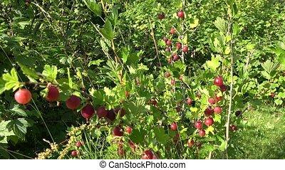 red gooseberries bush swing in summer garden. 4K - fresh...
