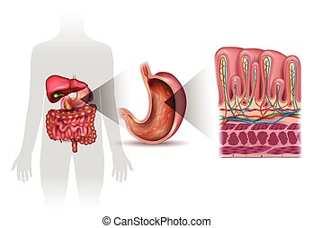 Stomach wall layers detailed anatomy