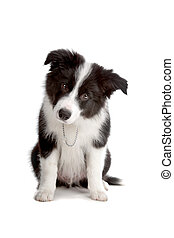 Border Collie puppy dog - Sitting Border Collie puppy dog...