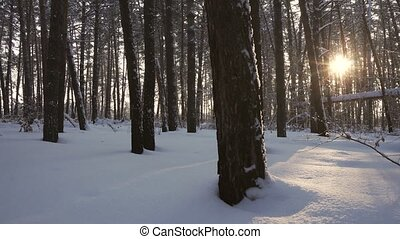 Rays of setting sun streaming through trunks of pine trees...