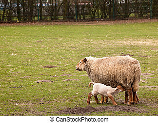 Springtime field with lambs