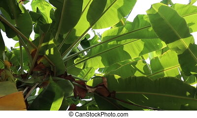 Swaying green banana leaves in the wind