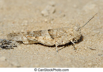 Closeup of the nature of Israel - grasshopper  on the sand