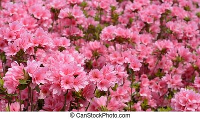 Pink azalea flowers - A sheet of bright pink azalea flowers...