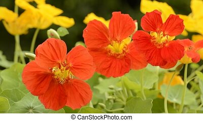 Orange nasturtium flowers - Close up lined bright orange...