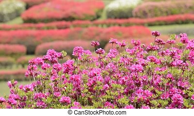 Pink azalea flowers - Bright pink azalea flowers in front of...