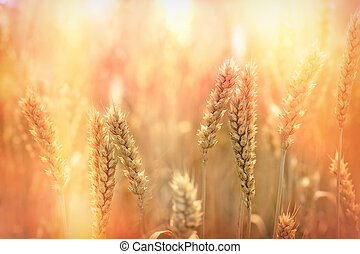 Late afternoon in wheat field