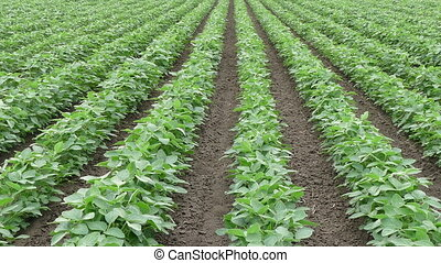 Green cultivated soy bean field - Agriculture, green...