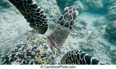 Underwater world of the island of Bali. Sea turtle. The...