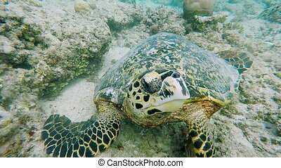 Incredibly beautiful, exotic turtle at the bottom of the...